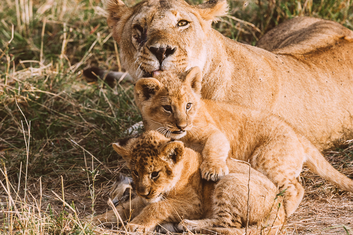 Cuddling Family of Lions at the Masai Mara Game Reserve in Kenya