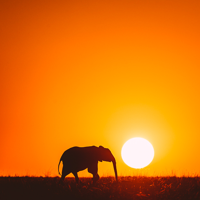 Elephant at Sunset at the Masai Mara Game Reserve in Kenya