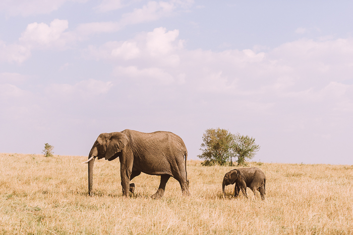 Elephant with Child at the Masai Mara Game Reserve in Kenya
