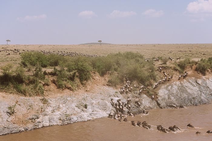 Herd of Wildebeest Crossing River at the Masai Mara Game Reserve in Kenya