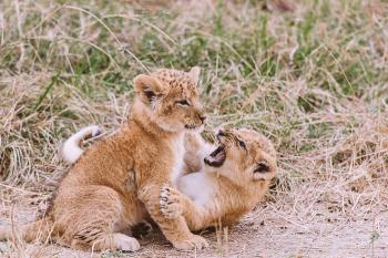 Lion Cubs Playing at the Masai Mara Game Reserve in Kenya