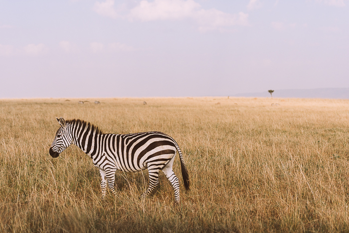 Zebra in the Field at the Masai Mara Game Reserve in Kenya