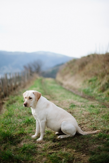 Yellow Lab at Domaine de Gouye in Rhone Valley France