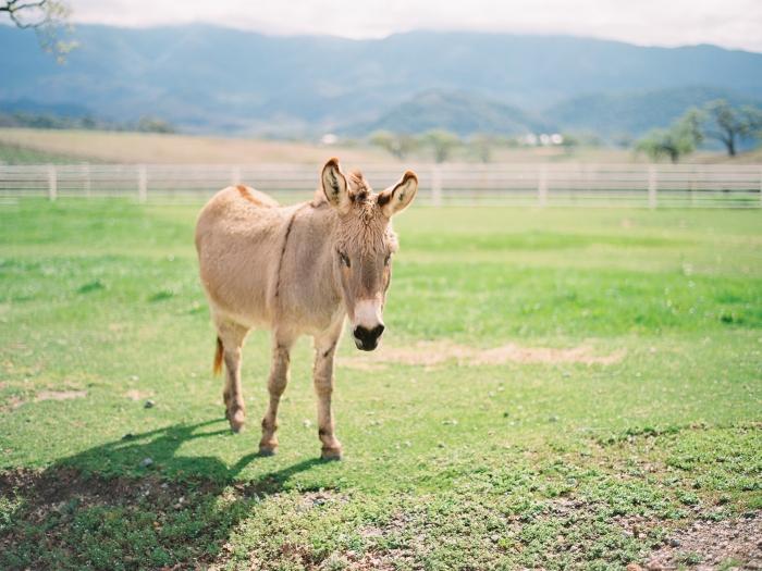 Donkey in Santa Ynez