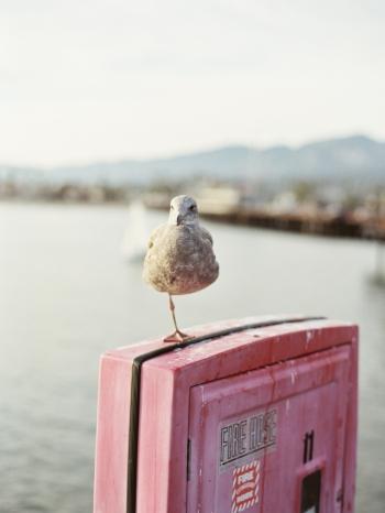 Resting Bird in Santa Barbara