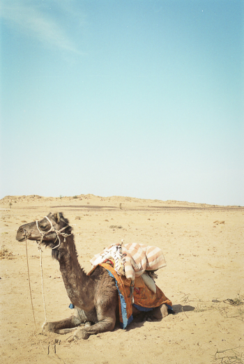 Camel in the Thar Desert of India