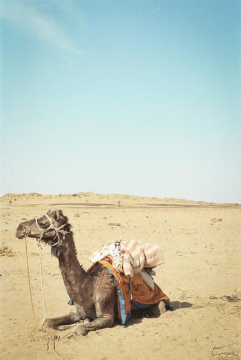 Camel in the Thar Desert of India