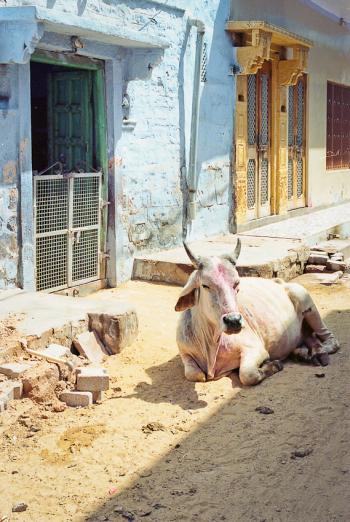 Cow in Jodhpur India