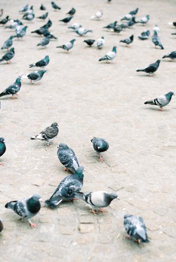 Pigeons in Amsterdam