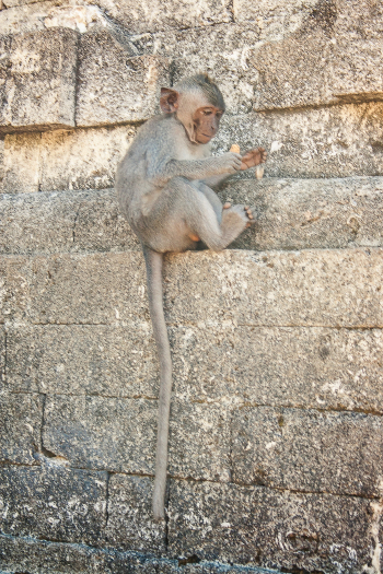 Monkey at the Uluwatu Temple in Bali