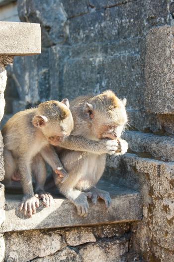 Monkeys at the Uluwatu Temple