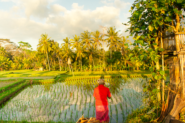 Rice Paddies of Ubud Bali