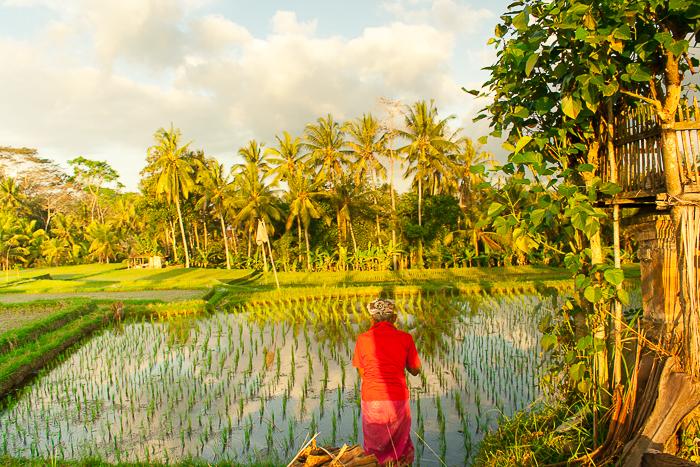 Rice Paddies of Ubud Bali