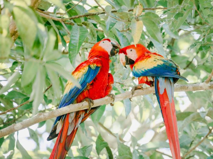 Vibrant Parrots in Costa Rica