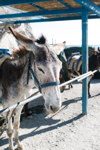 Donkey for Hire in Kos Island Greece