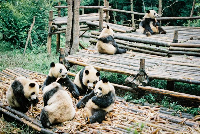 Panda Breeding Center Chengdu
